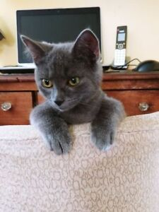 """Young Male Cat - Domestic Short Hair: """"Chomp"""""""
