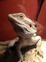 "Young Male Scales, Fins & Other - Bearded Dragon: ""Finn"""