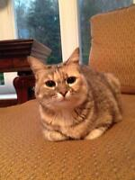 """Young Female Cat - Dilute Calico-Calico: """"Ivy"""""""