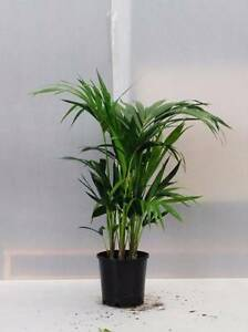 Kentia Palm Great Indoor Plant Greenvale Hume Area Preview
