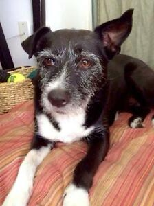 Adult Female  - Wirehaired Terrier-Border Collie