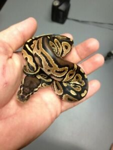 LOOKING FOR A Baby Ball Python