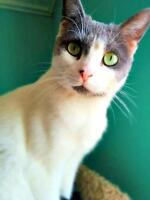 "Adult Female Cat - Domestic Short Hair: ""Bunny"""