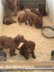 Apricot & Red Goldendoodle Puppies - Adorable!