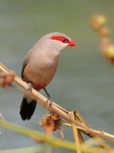 Red Eared Waxbill  Finches ( SERIOUS PEOPLE ONLY )