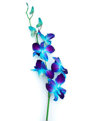 70 Blue Orchid Fresh Bulk Flowers for Wedding or Event Decoration, Gift