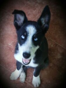 "Baby Male Dog - Husky: ""Luke Skywoofer"""