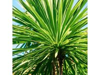 Stunning Cordyline Australis - Strong Healthy Baby Palm Tree