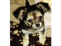 Last female Chihuahua puppy left