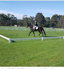 10 year old TB geling pony club/adult riders Dandenong Greater Dandenong Preview