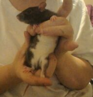 3 Month Old Rats Need To Go Asap!!!