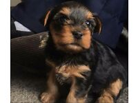 1 boy and 1 girl yorkshire terriers for sale