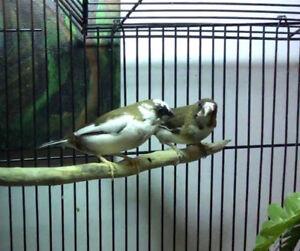 Finch society