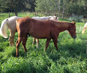 Herd reduction! Selling APHA and AQHA Strathcona County Edmonton Area image 2