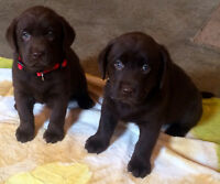 CKC REGISTERED RETRIEVERS (LABRADOR)