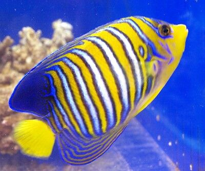 REGAL ANGEL FISH (PYGOPLITES DIACANTHUS)  MEDIUM - FISH FRESHWATER FREE SHIPPING