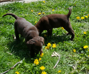 ADORABLE CHOCOLATE & BLACK LAB PUPS (Only 2 females left!!)