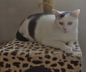 Female domestic cat for adoption