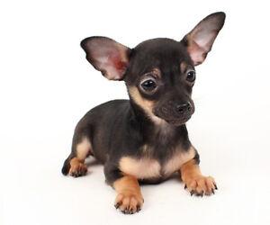 Chihuahua Puppy Short Coat Black Chihuahua purebred dog male