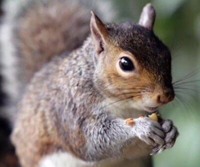 This Stuff Really Works  Squirrel Poison Bait 8 Ounces Pellets Nuggest W  Nuts