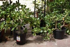 Jade Plants, Money Trees, Lucky Plant, Friendship Tree Surrey Hills Boroondara Area Preview