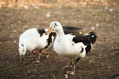Rare - 6 Purebred Ancona Fertile Hatching Duck Eggs