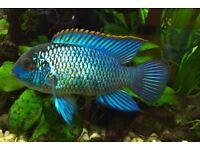 Electric Blue Acaras for sale live tropical fish