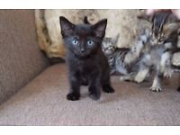 4 Gorgeous Kittens For Sale - Half Pedigree - 60 & 50 Each