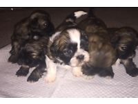 Beautiful shih tzu puppies for sale. Ready in 5 weeks.