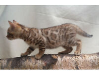 Tica Registered F4 Bengal male Kitten