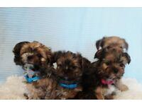 Yorkie cross Shitzu puppies for sale £400