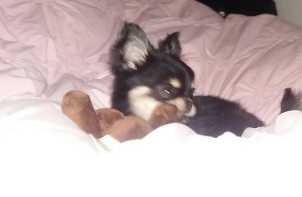 Beautiful full bred Chihuahua Puppy Male for sale | in Welwyn Garden City,  Hertfordshire | Gumtree