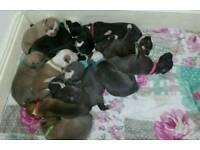 Stunning American bulldog puppies