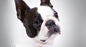 Looking for Boston Terrier