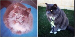 Missing much loved cat from Banksia Grove Joondalup Joondalup Area Preview