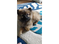 POMERANIAN PUPPY FOR SALE 11 WEEKS OLD MALE
