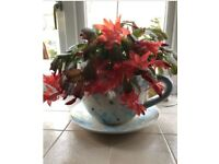 Giant Cup And Saucer Planter With Real Cacti