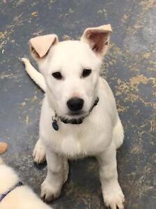 "Young Male Dog - German Shepherd Dog-Labrador Retriever: ""Nick"""