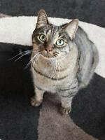 "Adult Female Cat - Tabby - Brown: ""Xyllia"""
