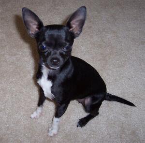 Jeune Chihuahua recherché