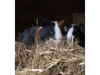 Two male guinea pigs and hutch