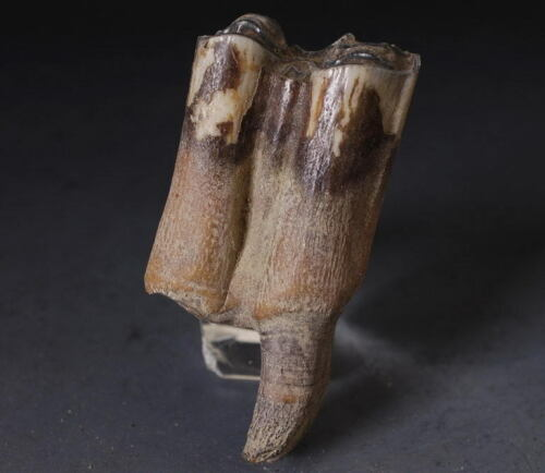 2 Merge Coryphodon Charm Tooth fossil! collectible!