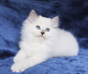 Adorable Ragdoll Kittens are Ready to go to their New Homes