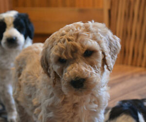 F1B Bernedoodle puppies just in time for Xmas Belleville Belleville Area image 4