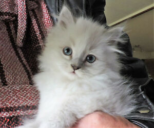 ** Reduced ** Adorable Ragdoll x Persian Kittens