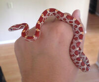 Charming Corns current availability, baby corn snakes for sale