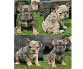 FRENCH BULLDOG PUPPIES, LILAC TAN MERLE & BLUE AND TAN