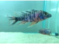 "Malawi ""OB"" Peacock Cichlids ( Aulonocara) 3-4 inches for Sale"