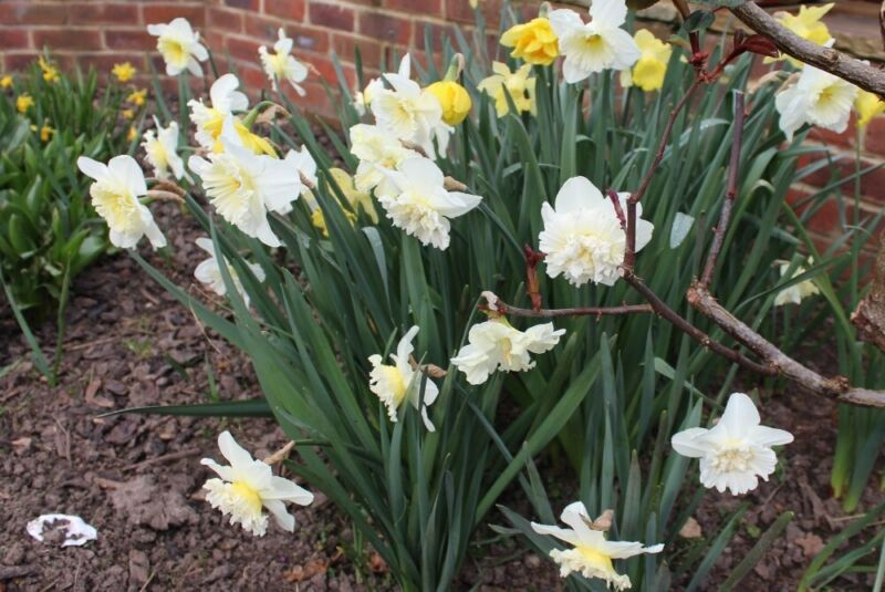 Mixed daffodils bulbs dug out this summer from my garden Woking for sale  Woking, Surrey