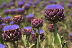 The Globe Artichoke Plant / Cynara Scolymus 'Purple of Romagna' in 2L Pot